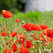 Red poppies — Stock Photo #11307515