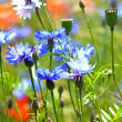 Beautiful blue cornflowers - Stock Photo