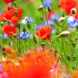 Poppies and cornflowers — Stock Photo #11307928