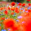 Meadow with beautiful red poppies — Stock Photo