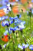 Belli fiordalisi blu — Foto Stock