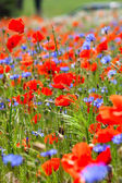Beautiful red poppies — Stock Photo