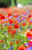 Poppies and cornflowers — Stock Photo
