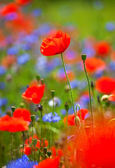 Red poppies background — Stock Photo