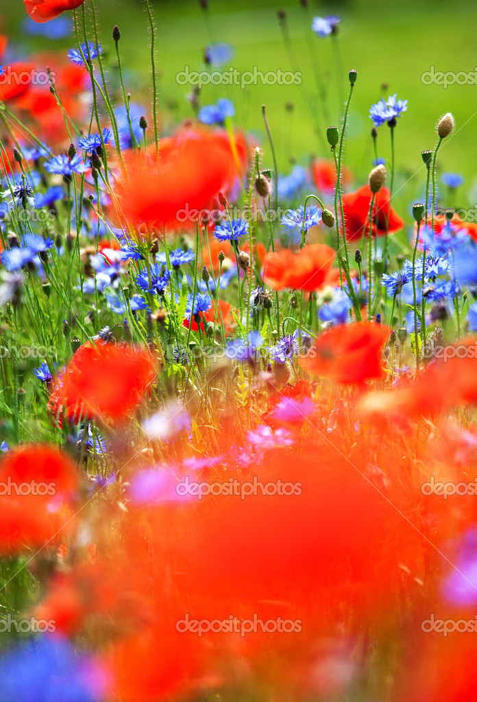 Abstract wild meadow with red poppies and blue cornflowers. Good for background — Stock Photo #11308053