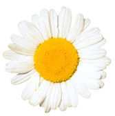 Camomile — Stock Photo