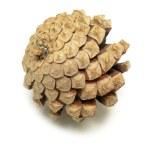 Pine Cone — Stock Photo #11141567