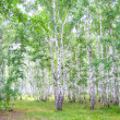 Birch forest — Foto Stock