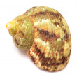 Shell on white - Stock Photo