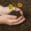 Stock Photo: Womplanting sapling