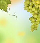 Grapevine isolated on white background — Stock Photo