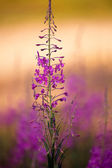 Purple forest flower — Stock Photo