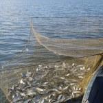 Постер, плакат: Seine with catch of fish peled