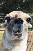 Portret lamy — Zdjęcie stockowe