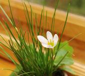 Flower Zephyranthes white ( candida Herb) — Zdjęcie stockowe