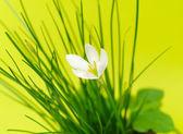 Flower Zephyranthes white (candida Herb) — Zdjęcie stockowe