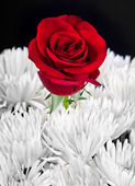 Black and white image with red rose — Stock Photo