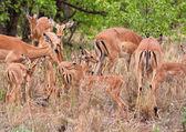 Herd of impalas — Stock Photo