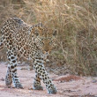 Stock Photo: Female leopard walking