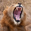 Male lion yawning — Stock Photo
