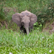 Young elephant eating grass — Stock Photo