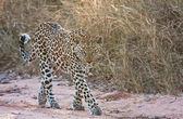 Female leopard walking — Stock Photo