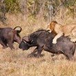 Stock Photo: Male lion attack huge buffalo bull