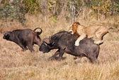 Male lion attack huge buffalo bull — Stock Photo