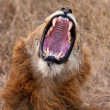 Young male lion yawning — Stock Photo
