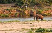 Elefante toro in piedi accanto al fiume — Foto Stock
