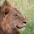 Stock Photo: Male lion lying in shade
