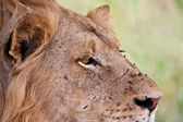 Portrait of male lion staring — Stock Photo