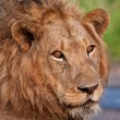 Close up of male lion — Stock Photo