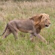 Stock Photo: Male lion staling his prey