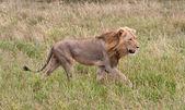Männlichen Löwen Altbackenwerden seine Beute — Stockfoto