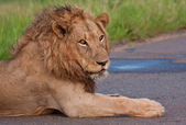 Mannetjes leeuw liggend in een weg — Stockfoto