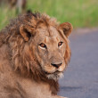 Portrait of young male lion — Stock Photo #11899865