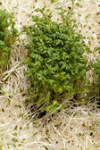 Fresh alfalfa sprouts and cress on white background — Stock Photo