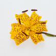 Single yellow lily — Stock Photo