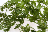 Green leaves of parsley — Stock Photo
