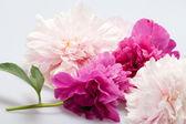 Peony flower — Stock Photo