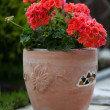 Red garden geranium flowers — 图库照片