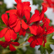 Red garden geranium flowers — Stock Photo