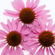 Pink coneflower head - Stock Photo