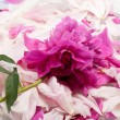 Peony flower — Stock Photo