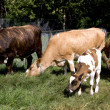 Cow family - Stock Photo