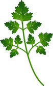 Branch of parsley — 图库矢量图片