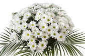 Chrysanthemum maximum — Stock Photo