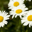 Stock Photo: Marguerite