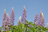 Flower lupin — Stock Photo